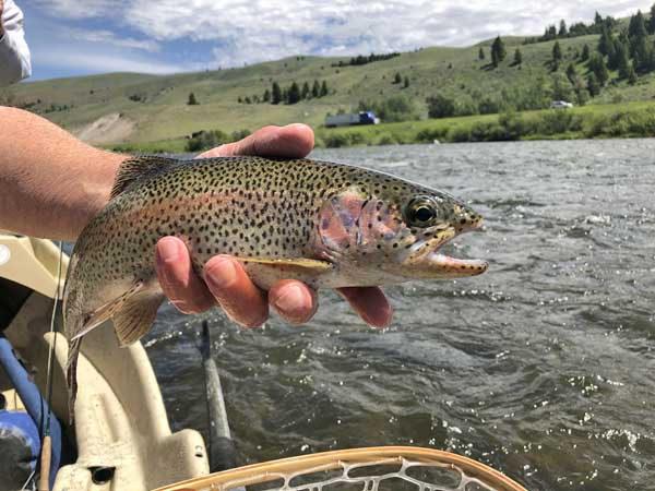 Dark spotted rainbow trout on the Madison River