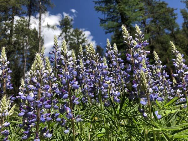 Spring blooms of Lupine near Welcome Creek on Rock Creek