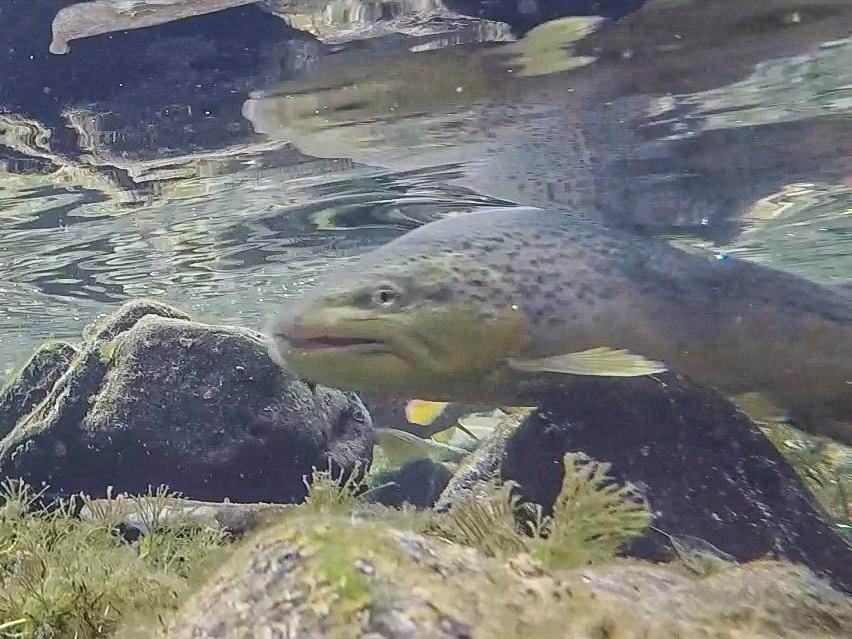Brown Trout Aggression Fish Creeper