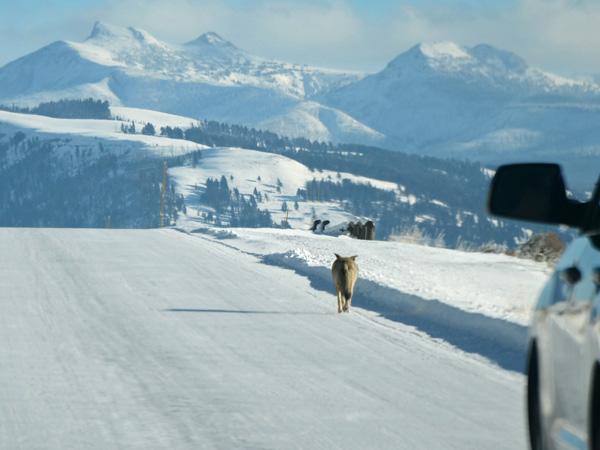 Coyote Walking Down the Road in Lamar Valley