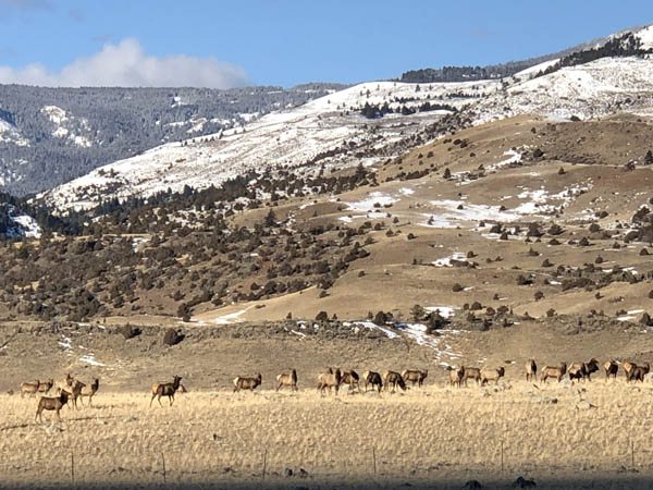 Elk Grazing in Yellowstone on Christmas Day