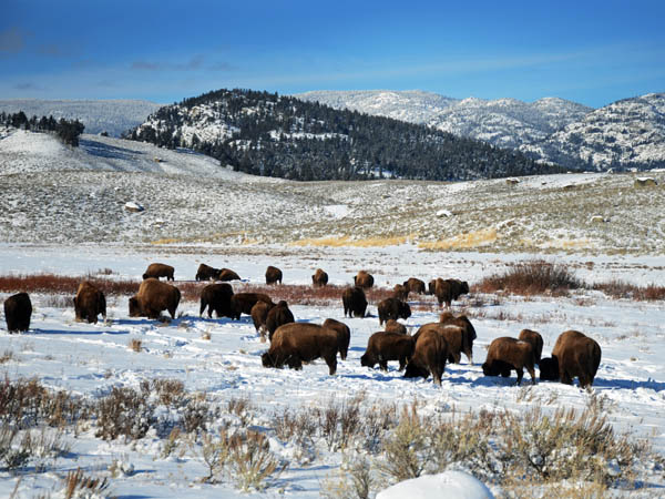 Lamar Valley Bison in Yellowstone at Christmas