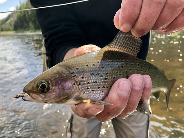Montana Grayling caught on the Big Hole River