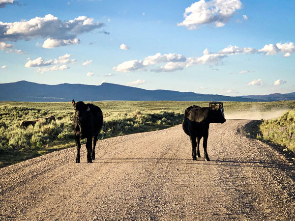 Wyoming traffic jam with cows in the road near Pinedale Wyomin