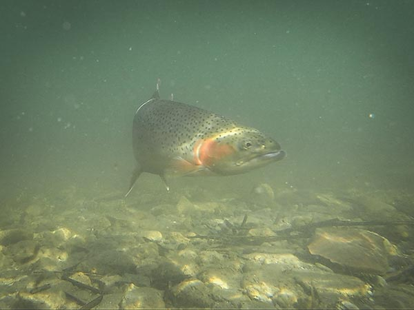 Rainbow with a kype Underwater in Montana
