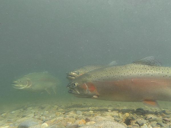 Three Rainbow Trout Underwater in Browns Lake