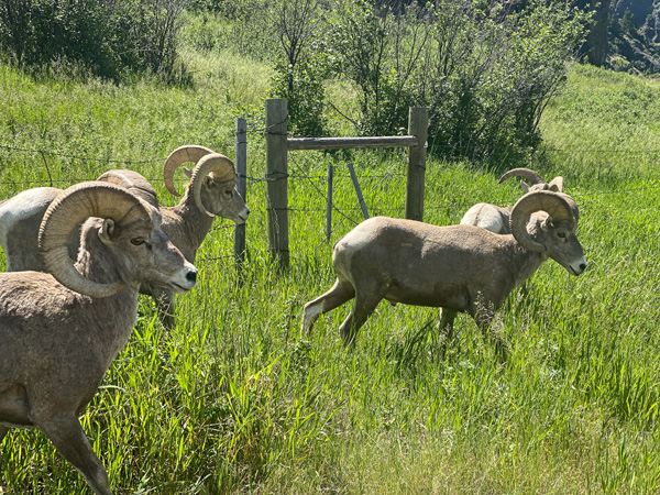 Bighorn sheep rams who inhabit the cliffs near Tower Rock State Park on the Missouri River