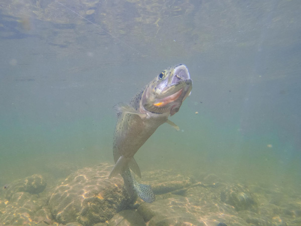 Cutthroat Trout Fishingting while hooked underwater in Rock Creek
