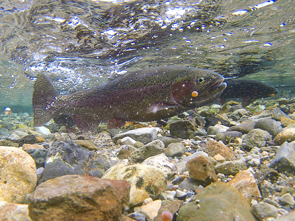 Rainbow Trout Eggs Floating Downstream
