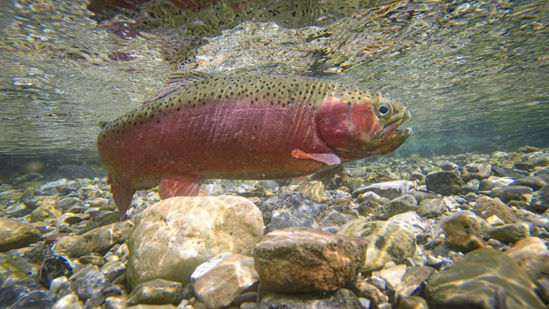 Female Rainbow Trout During Spawn
