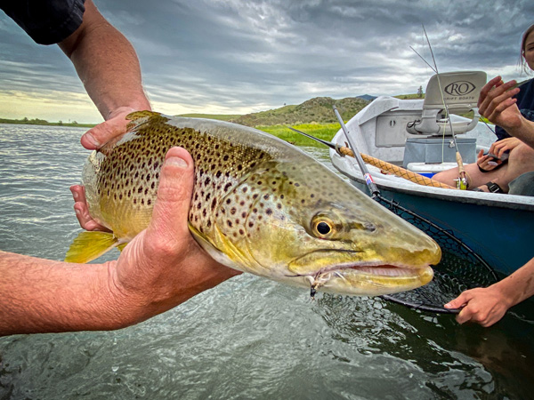 Missouri River Brown Trout caught near Cascade Montana