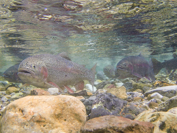 Spawning in a Small Creek in Montana
