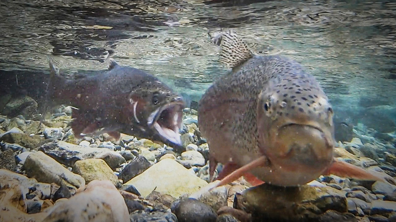 Rainbow trout biting another during spawn