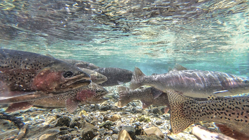 Rainbow trout stacked up and ready to spawn