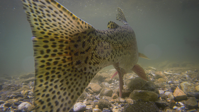 Rainbow Trout Tail