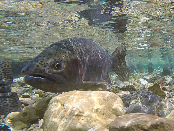 Upstream Swimmer During Rainbow Trout Spawn in May