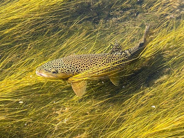 Brown Trout in weeds