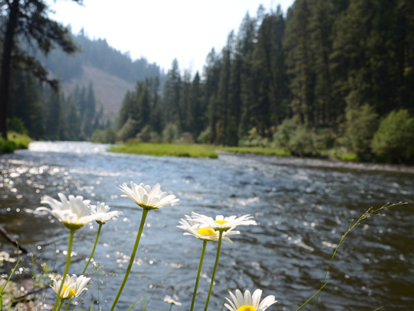 Daisies growing along the River