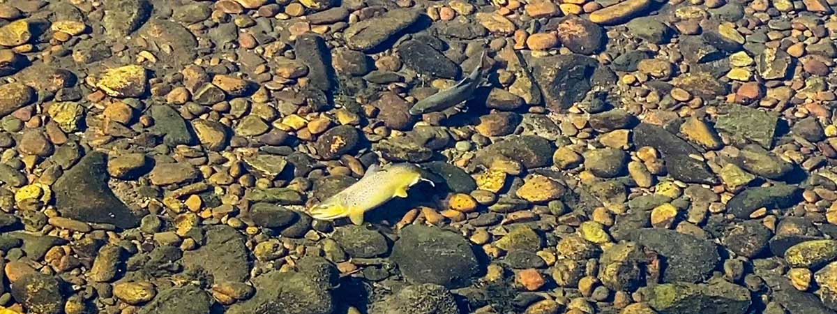 Spawning Brown Trout in a Creek