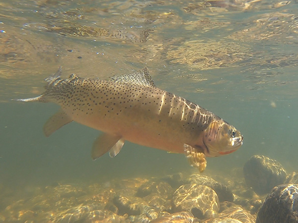 West Fork Cutthroat Trout