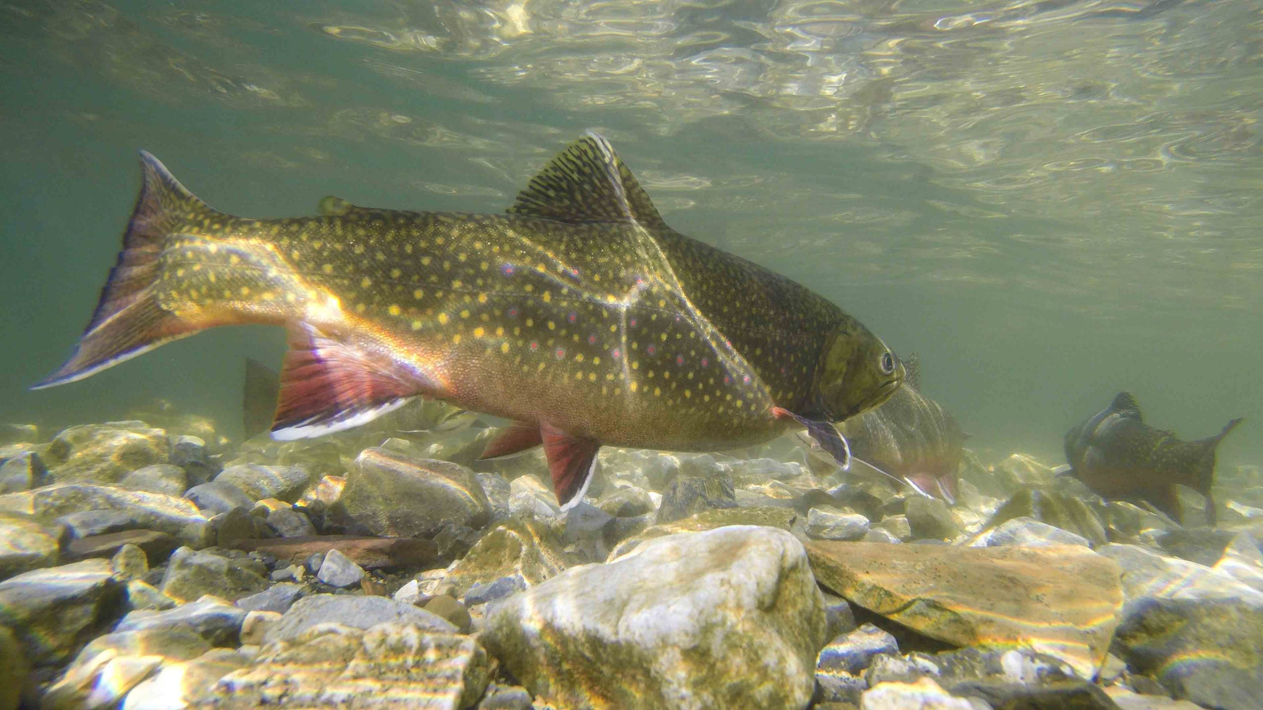 Brook Trout Shimmering