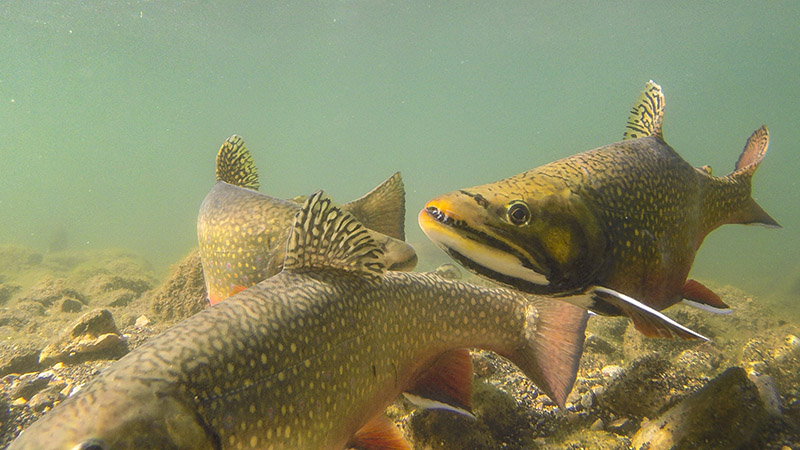 Brook Trout Spawn