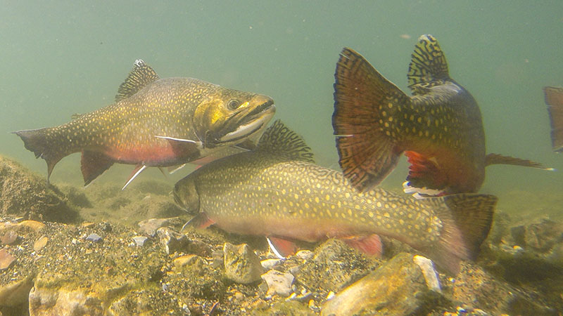 Brook Trout During Spawn