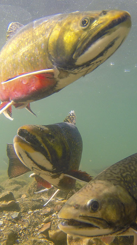 Stacked Brook Trout