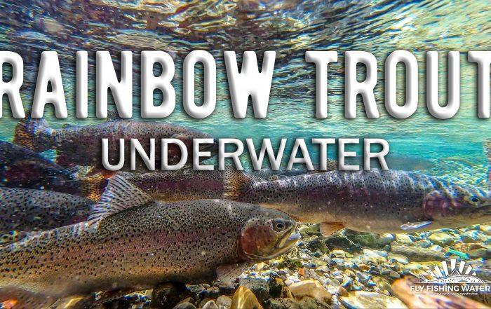 Rainbow Trout Underwater Video