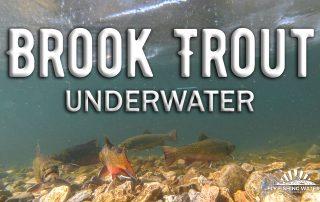 Brook Trout Underwater Video