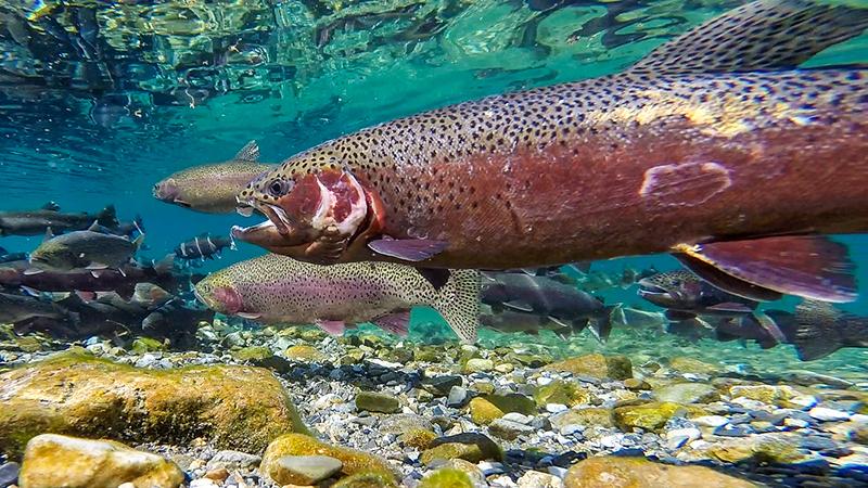 Battle weary rainbow trout spawner