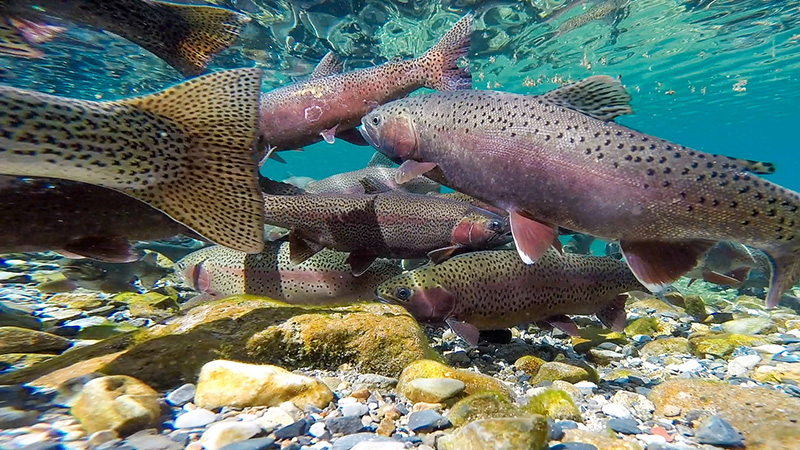 Busy spawning rainbow trout fish