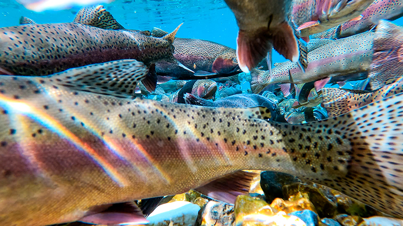 Deep of Rainbow Trout in Montana during spawn