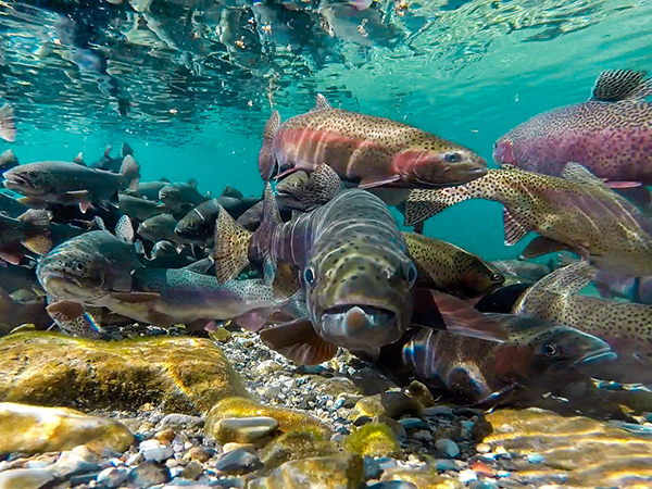 Group of rainbow trout examining the underwater camera