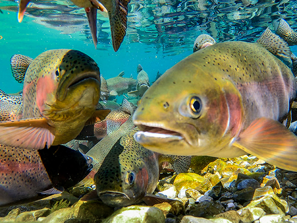 rainbow trout filmed while spawning underwater