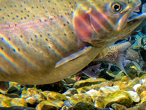 female rainbow trout heavy with eggs