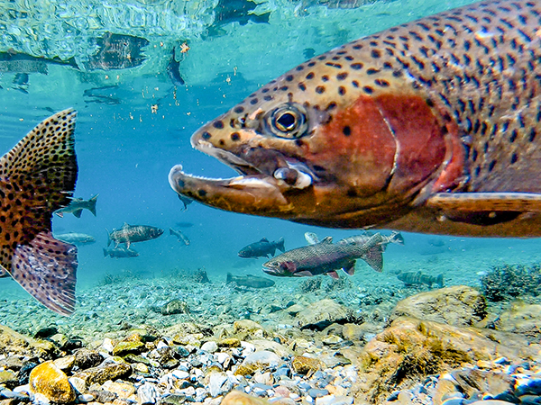 Male rainbow trout with a wound swimming behind another trout with a tattered tail