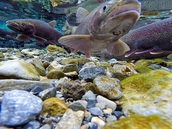 Parasites on the chin of a spawning rainbow trout