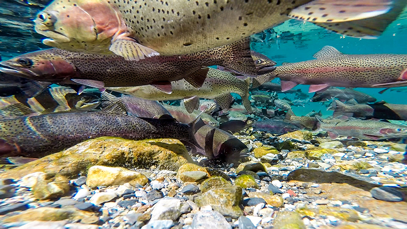 Piles of rainbow trout fish