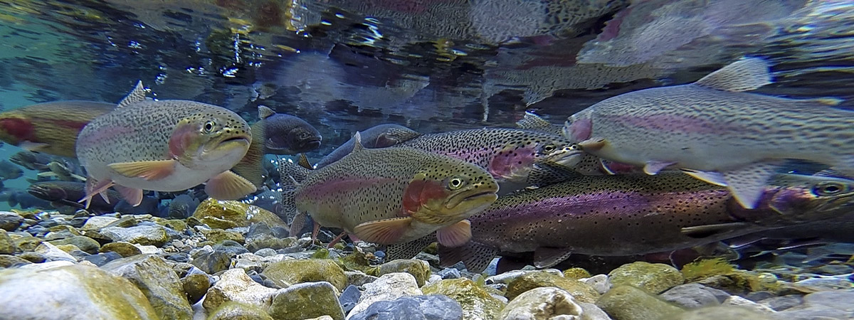 Rainbow Trout Spawning in Montana in May