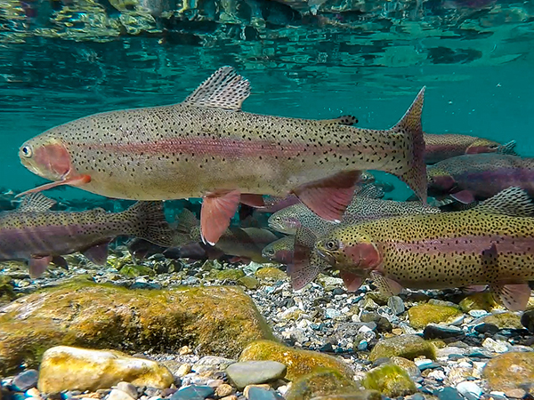 Rainbow Trout in Lake