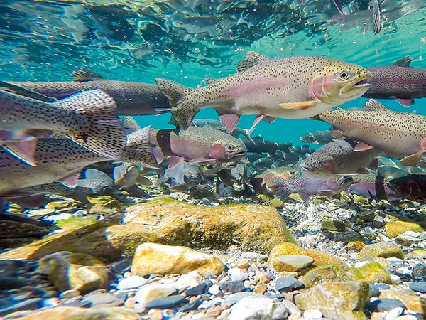 Rainbow Trout underwater photos of spawning