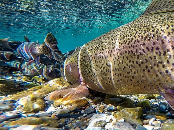 Rainbow trout with parasites
