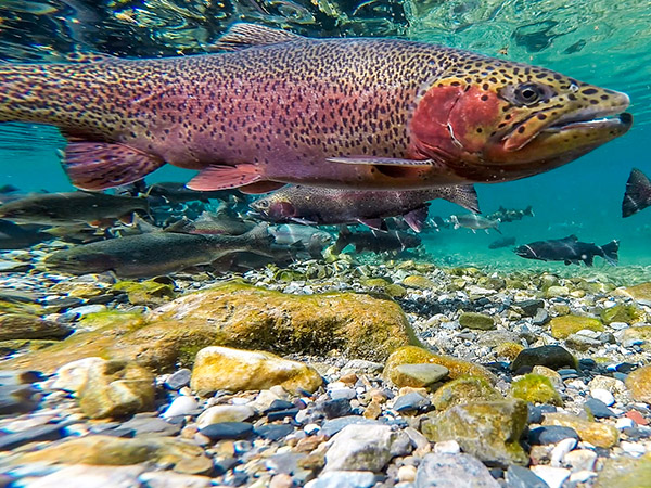 Spotted Rainbow Trout underwater in a Montana Lake
