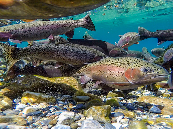 Trout spawning in a Montana Lake