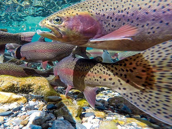 Underwater photos of spawning Rainbow Trout