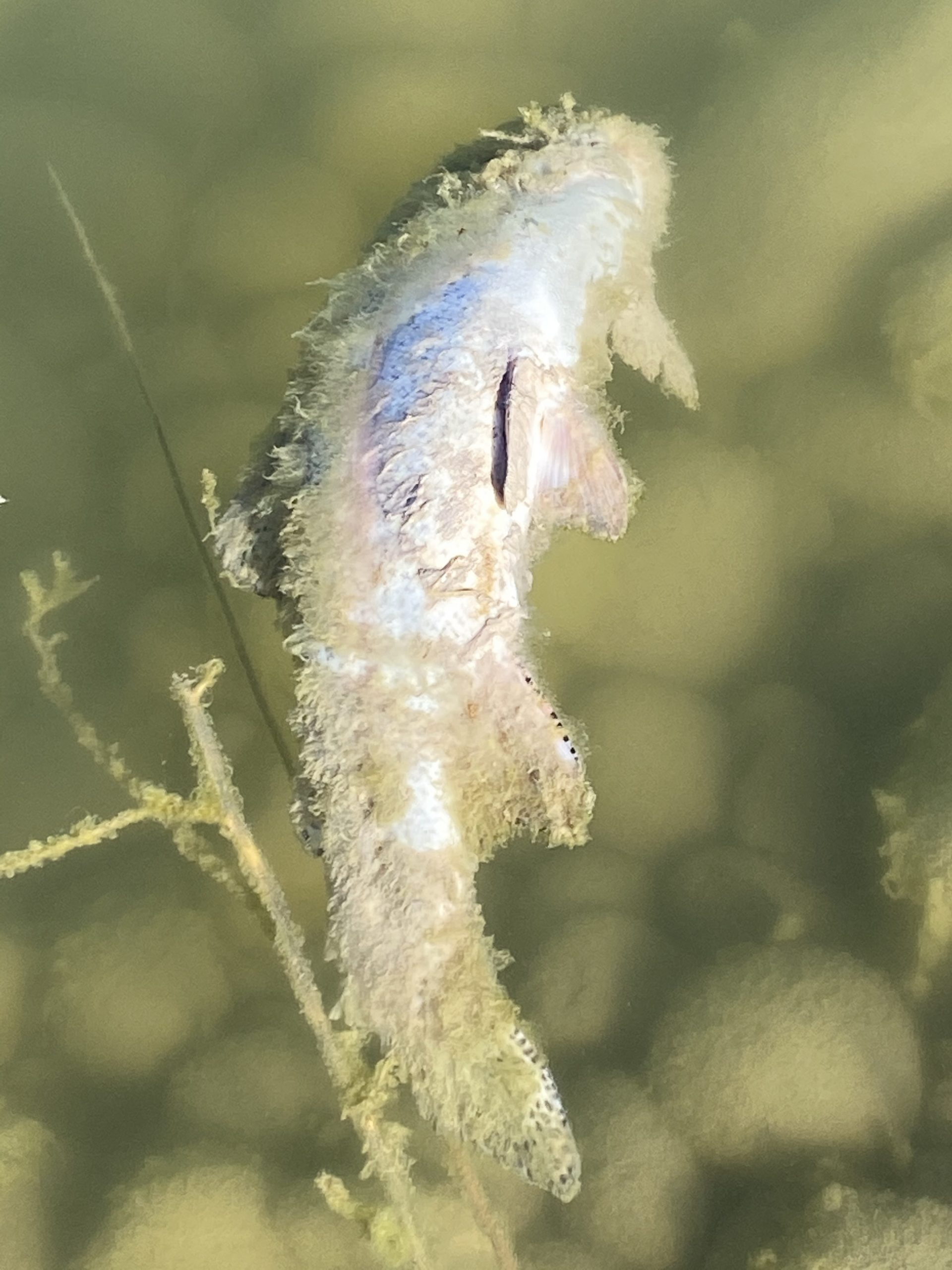 Dead Trout in Idaho