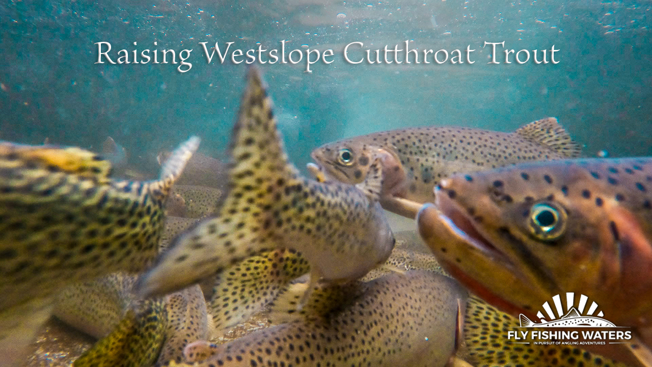 Raising westslope cutthroat trout